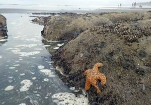 Uma estrela de mar do ocre (<em> Pisaster ochraceus </ em>), também chamado de estrela do mar, nas poças de maré da praia de Kalaloch 3 no parque nacional olímpico, perto de Forks, Washington