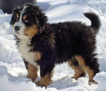 St Bernese Mountain Dog Puppy