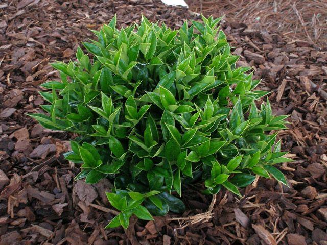 16 besten winterbl her bilder auf pinterest pflanzen blumengarten und blumen. Black Bedroom Furniture Sets. Home Design Ideas
