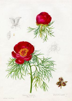 Lilian Snelling -- Paeonia tenuifolia -- Peony -- View By Flower -- RHS Prints