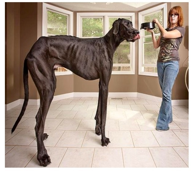 Tallest dog in the world - photo#21
