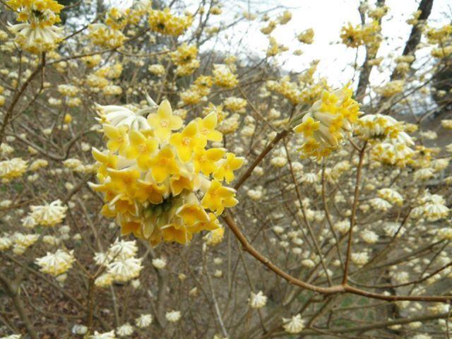 今年もミツマタが見ごろを迎え始めました。咲き初めからまんまるの満開のものまで、今なら作までの過程が楽しめますよ~ https://www.facebook.com/kankou.obara?fref=ts