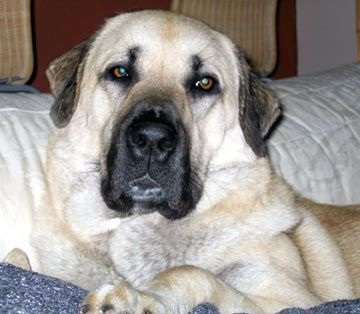 Anatolian Shepherd - highly intelligent, ancient breed created to work independently from humans to guard flocks