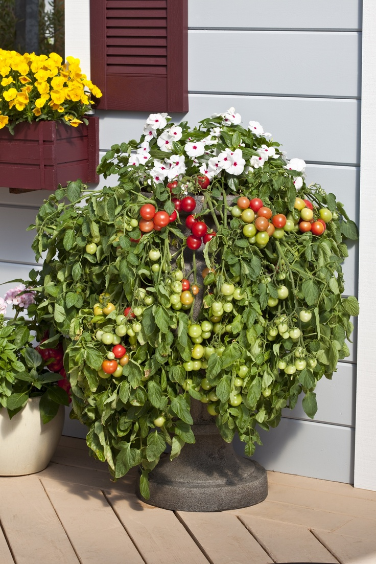 44 Best Images About Cherry Tomatoes On Pinterest 400 x 300