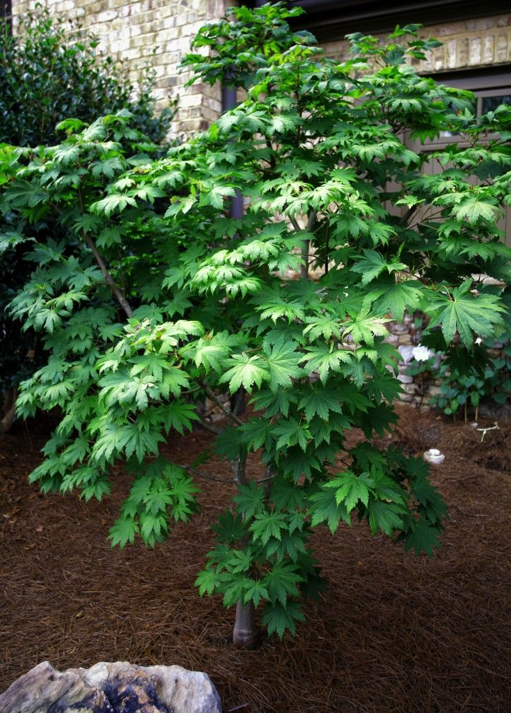 64 Best Images About Gardening Trees On Pinterest