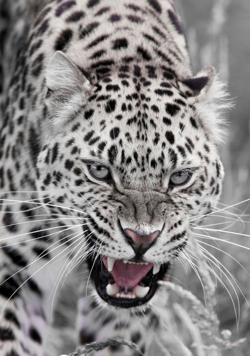 fierce!Love it !White Tigers, Big Cat, Wild, Animal Right, Snow Leopards, White Leopards, Beautiful, Frrrantic, Kitty