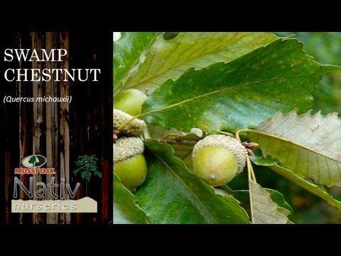 Swamp Chestnut Oak (Quercus michauxii) Trees For Sale