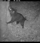 Wildlife Rescue Magazine suggests Reconyx HC500 Tas devil night 2 -  Image from Tarkine, Tas. Courtesy of Bonorong Wildlife Sanctuary.