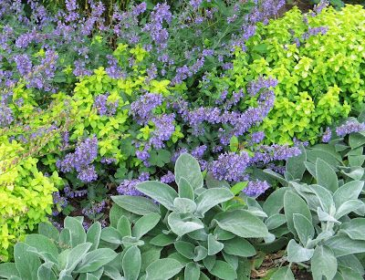 good contrast makers here are stachys golden origanum and nepeta - Common Purple Garden Flowers