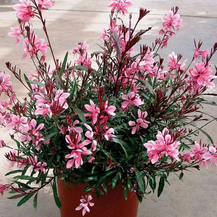 95 best images about gaura on pinterest white flowers for Beautiful flowers to plant in your garden