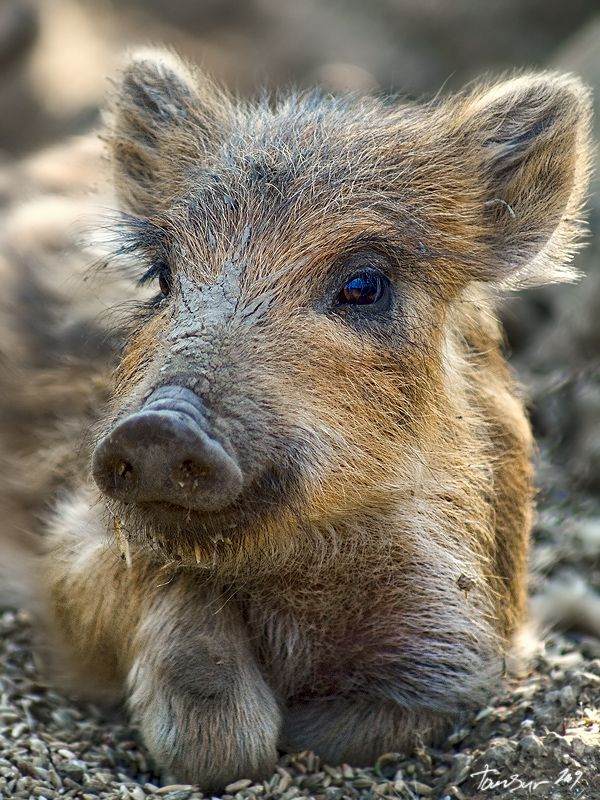 Boar. They are not vermin.  Please  leave them in peace. All the reasons you  use to slay them apply to humanity also .