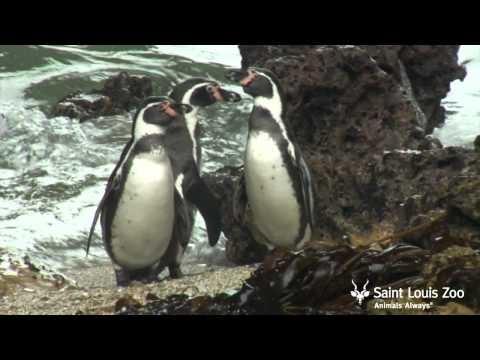 (Documentary) Saint Louis Zoo is helping Humboldt penguins in Peru