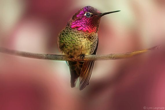 "Nature Photography - pink photograph, pink and green hummingbird against swirling fushia, nature wall print - hummingbird photo - ""Wing"""