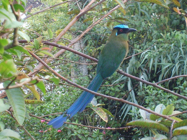 Barranquillo. Manizales bird. They live in bamboo by pairs.