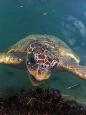One of the sea turtles in the harbor- photo: Lupei Cai   | check it out at wildlifesense.com