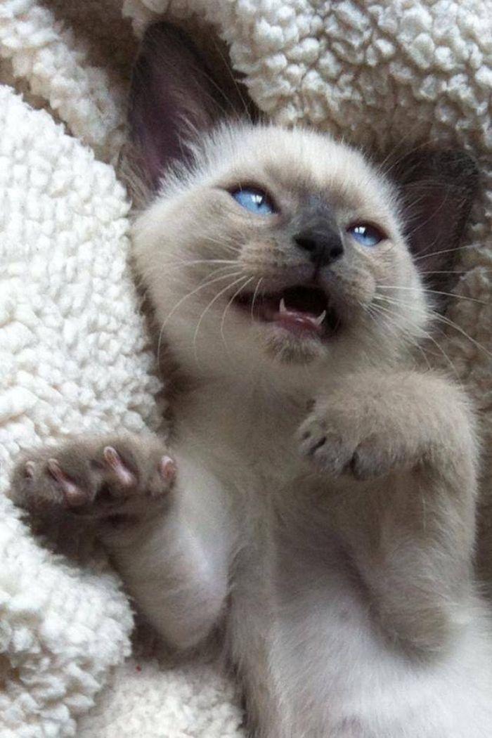 Siamese kitten                                                                                                                                                                                 More