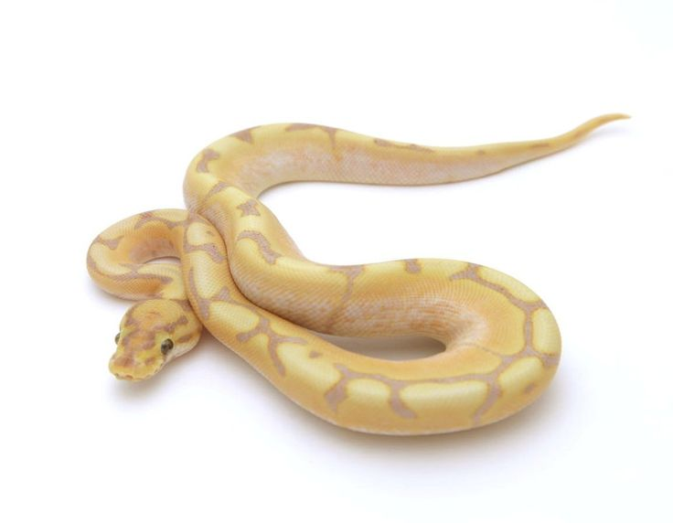 Extreme Spider Banana Ball Python - Male #2016M01 – BHB Reptiles
