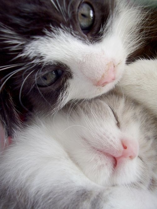 Cats: Cute Cats, White Cats, Kitty Kat, Baby Animal, Animal Friends, Kittens, Cuddling Buddies, Baby Cats, Sweet Dream
