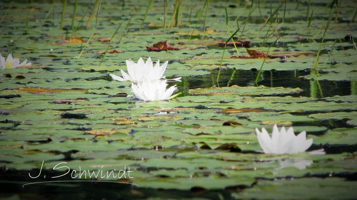 Waterlilies by JSchwindtPhotography on Etsy