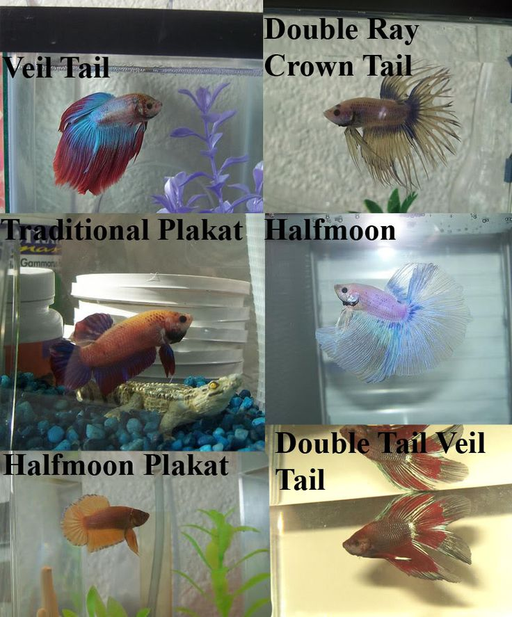 Image from for What kind of fish can live with a betta