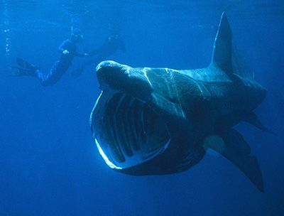 Basking Sharks, Cetorhinus maximus