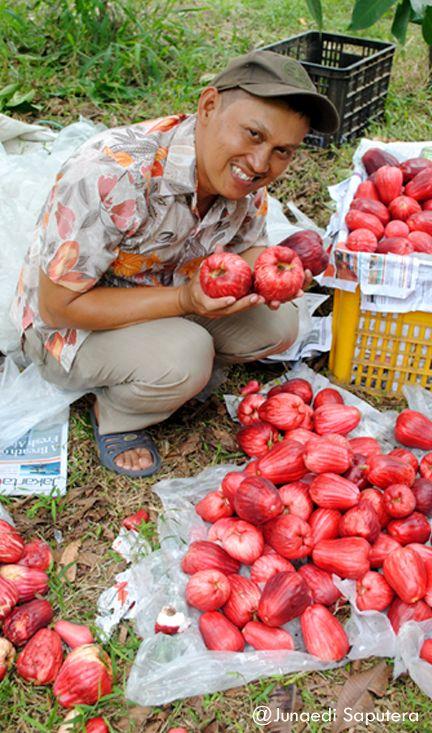 Harvest Session Malay Apple (Syzygium malaccensis) in Taman Buah Mekarsari