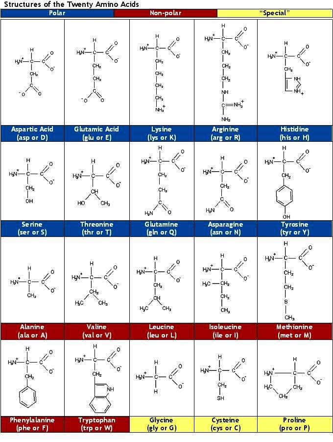 Best Amino Acids Images On   Amino Acids