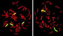 FISH o hibridación fluorescente in situ es una técnica citogenética de marcaje de cromosomas mediante la cual estos son hibridados con sondas que emiten fluorescencia y permiten la visualización, distinción y estudio de los cromosomas así como de las anomalías que puedan presentar - WIKIPEDIA