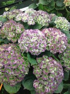 Hydrangea Everlasting® Revolution   Plants Nouveau