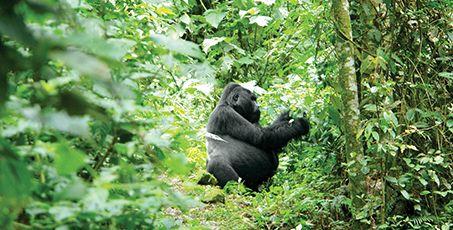 Number 5 ~ Trek to see wild mountain gorillas