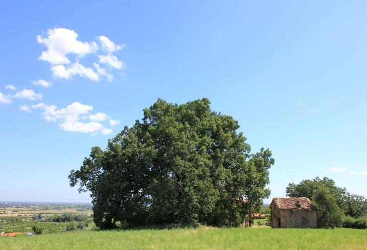 """Grande quercia lungo via Monticelli a Savignano sul Panaro """"Da tre anni piantava alberi in quella solitudine. Ne aveva piantati centomila. Di centomila, ne erano spuntati ventimila. Di quei ventimila, contava di perderne ancora la metà, a causa dei roditori o di tutto quel che c'è di imprevedibile nei disegni della Provvidenza.Restavano diecimila querce che sarebbero cresciute in quel posto dove prima non c'era nulla."""" da L'uomo che piantava gli alberi di Jean Giono."""