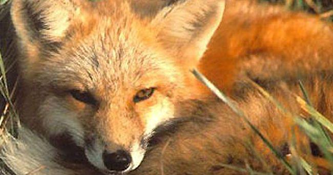 Pisa fa dietrofront: ritirata la determina sulla caccia alle volpi anche in tana