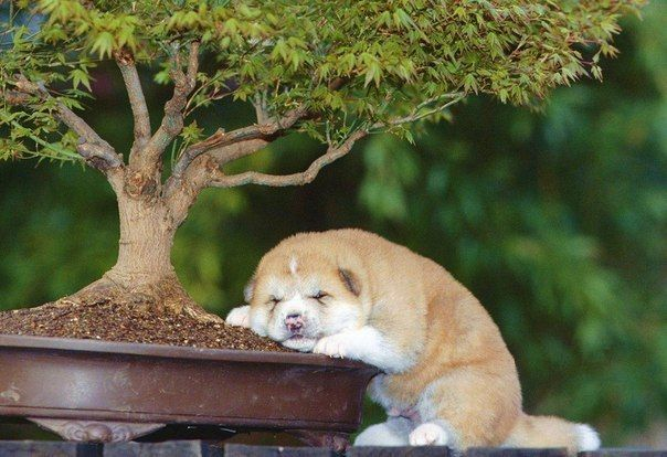 Щенок акита-ину уснул под деревом бонсаи