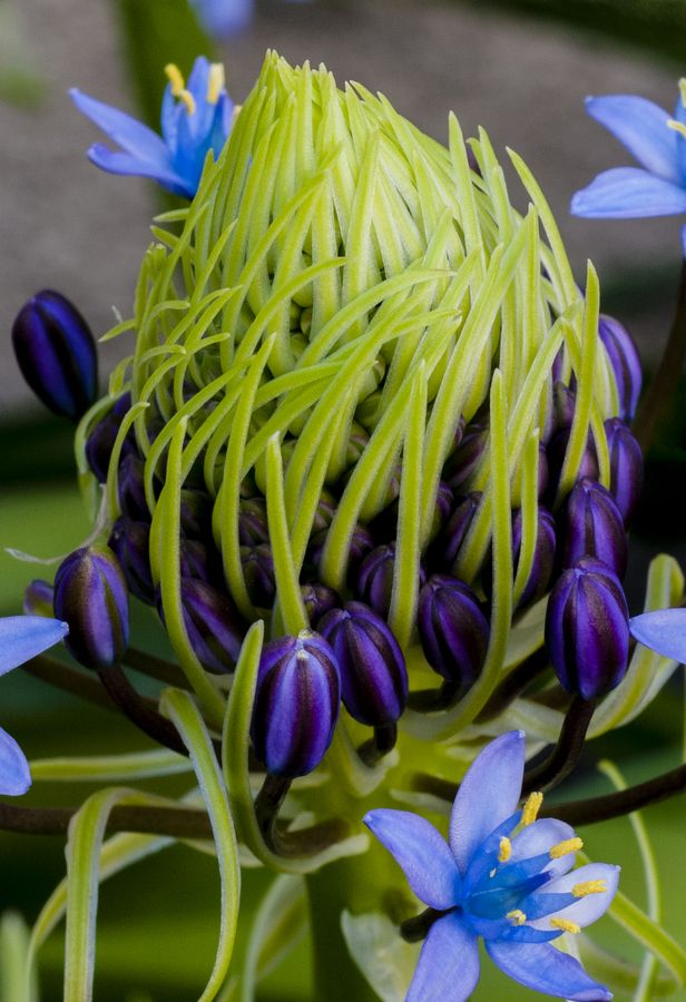 Caribbean lily: Blue Flowers, Flowers Plants, Lilies, Beautiful Flowers, Caribbean Lily, Flowers, Garden, Unusual Flower