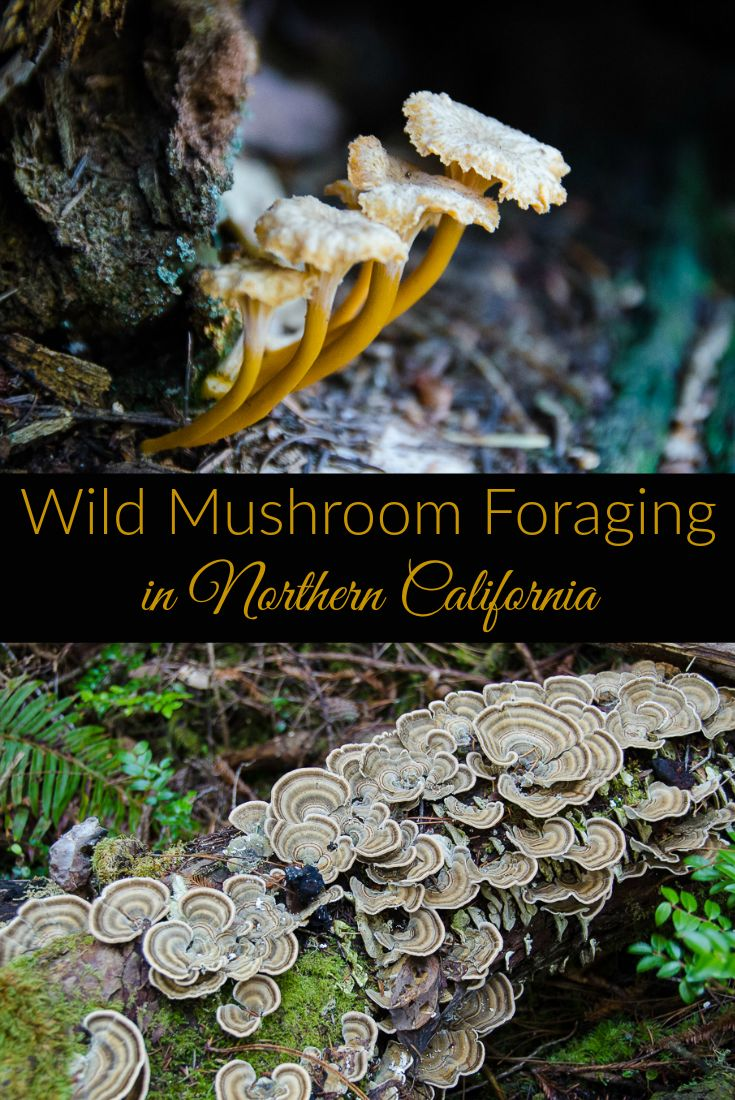 Wild mushroom foraging on the Northern California Coast. Winter is the best time to look for wild edible mushrooms like golden chanterelles, hedgehogs, coral mushrooms, and even candy cap mushrooms which taste and smell like maple syrup! The story of an edible mushroom hunting tour in Sonoma County, California.