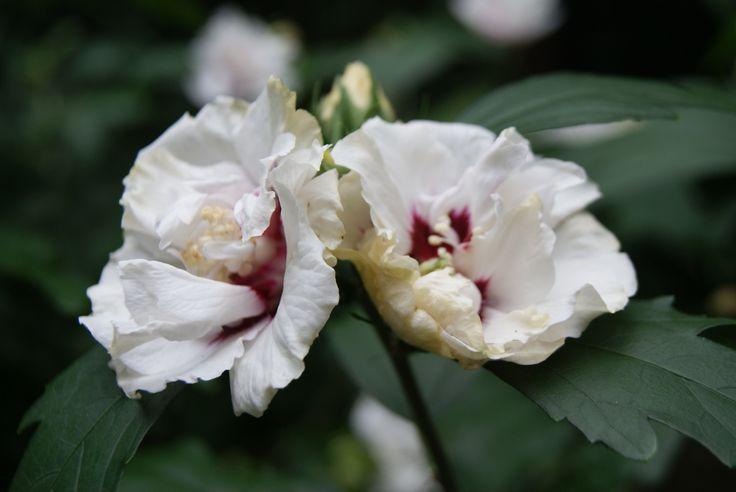 TUIN HIBISCUS: weer een eetbare plant uit de familie van Kaasjeskruid en Stokroos. Plant het in je tuin en geniet ervan.