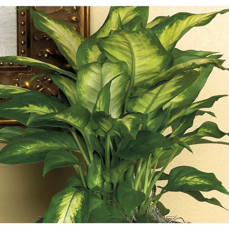 1.5Gallon Dieffenbachia at Lowes (L20936HP) Plants