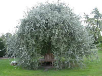 Weeping Willow Leaf Pear Pyrus Salicifolia Silver Frost