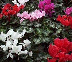 Ciclamen, Violeta de Persia, Violetas de los Alpes ✿⊱╮Teresa Restegui http://www.pinterest.com/teretegui/✿⊱╮