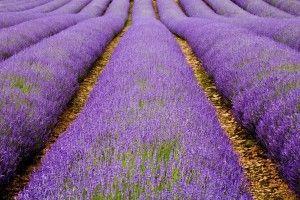 Wow! Lavender field