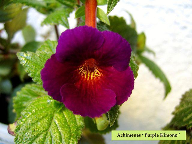 Achimenes 'Purple Kimono ' by Serge Saliba, via Flickr