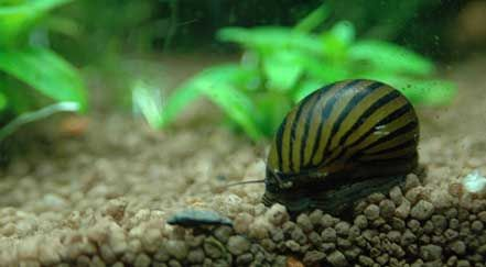 11 best images about aquarium ideas on pinterest for Black algae in fish tank