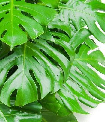 Le philodendron, le champion des dépolluants : Ces plantes dépolluantes pour votre intérieur - Linternaute