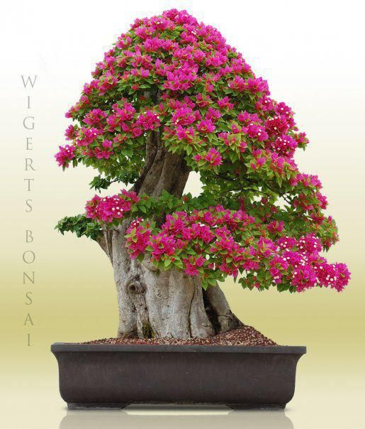177 best bugenwilla images on pinterest bonsai trees for How to make an olive tree into a bonsai