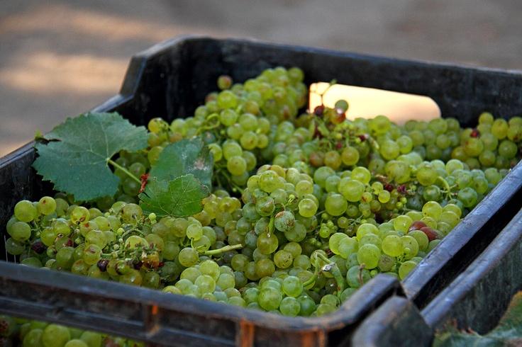 Freshly harvested #Stellenbosch #Muratie
