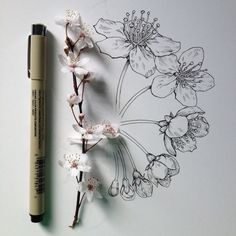 flowering crab blossom drawing - Google Search