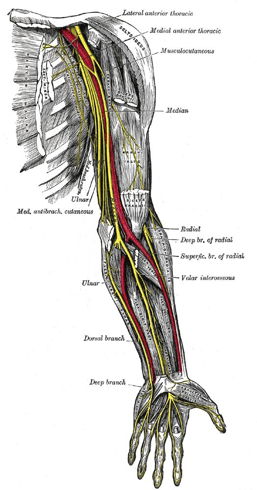 Nerve Mechanics Part III Posted on March 9, 2009 by Todd Hargrove • 20 Comments  nerves of left upper extremity     Image via Wikipedia  In the first two posts on nerve mechanics I discussed how nerves move and how that movement can cause pain.  http://www.bettermovement.org/2009/nerve-mechanics-part-iii/