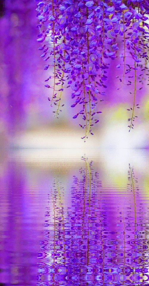 Wisteria reflecting in water below