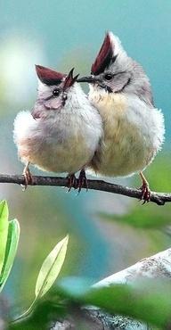 Newlyweds: Natural Wings, Birds Of Paradis, Taiwan Yuhina, 冠羽甜蜜 Fall, 182 冠羽甜蜜, Amazing Birds, Beautiful Birds, Photo, Feathers Friends