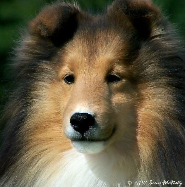 Image Result For Border Collie Puppies For Sale In Virginia Beach